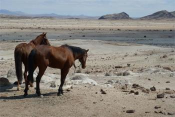 horses-in-desert