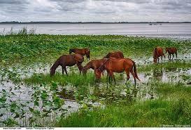 caspian ponies