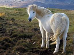 Caspian pony