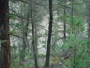 Nuwa trees