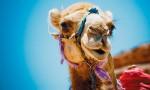 Barak Camel
