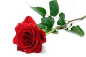 ab red rose