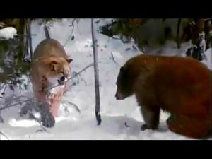 ice bear and puma