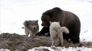 ice bear and wolves