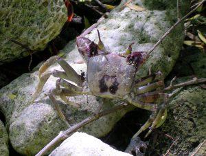 po crab