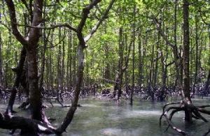 po mangrove 1