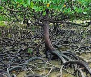po mangrove 3