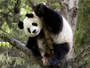 for panda